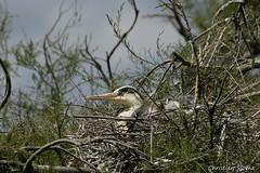 _DSC0450 (chris30300) Tags: france heron de pont parc oiseau camargue gau saintesmariesdelamer flamant provencealpesctedazur ornithologique