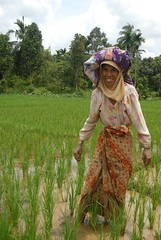 Rice is as staple food. (epd_19) Tags: sawah