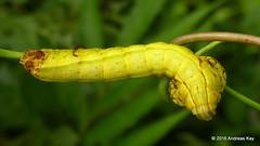 Snake-mimic caterpillar, Hemeroplanes triptolemus, Sphingidae (Ecuador Megadiverso) Tags: ecuador amazon rainforest caterpillar sphingidae sphinxmoth mimicry hawkmoth falseeyes puyo fakeeyes hemeroplanestriptolemus snakecaterpillar andreaskay