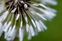 Make a Wish (AngelBeil) Tags: macro nature dandelion makeawish 100years fiveforfighting