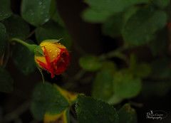 Ignition (donna.chiofolo) Tags: orange macro nature yellow atmosphere dew
