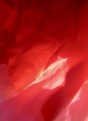 Passion pivoine (clairetresse) Tags: france macro nord pivoine isre