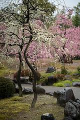 20160229-095933_5K_80 (pya) Tags: kyoto 京都 camellia plumblossoms jonangu 梅花 茶花 城南宮 椿花 weepingplumblossoms
