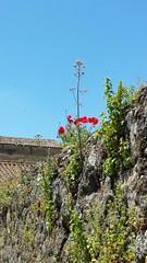 Trujillo (Jos Ant.) Tags: paisajes flores muro verde tallo rojo pueblo paseo cceres tejados trujillo piedras hierba extremadura amapolas