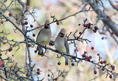 Cedar Waxwings (Doris Burfind) Tags: bird nature wildlife perched cedarwaxwing wolflane