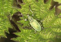 Nettle Weevil - Phyllobius pomaceus (Prank F) Tags: uk macro nature closeup insect wildlife beetle rutland nettle ketton weevil wildlifetrust lrwt phyllobiuspomaceus kettonquarry