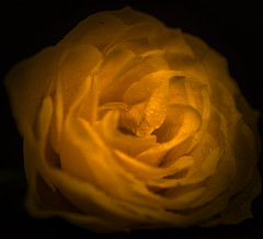 A Yellow Rose. (microwyred) Tags: flowers stilllife garden yellowrose wildflowers abstracts