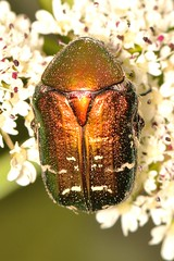 Cetonia carthami (Gory & Percheron, 1833) (Jesús Tizón Taracido) Tags: coleoptera polyphaga scarabaeoidea cetoniinae cetoniidae scarabaeiformia cetoniini cetoniina cetoniacarthami