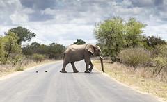 Slow moving traffic ahead (Sheldrickfalls) Tags: elephant southafrica krugernationalpark mpumalanga krugerpark kruger loxodantaafricana