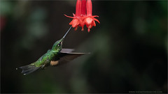 Buff-winged Starfrontlet in Ecuador (Raymond J Barlow) Tags: travel red ecuador hummingbird wildlife adventure workshop phototours raymondbarlow