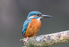 Kingfisher Male  Alcedo atthis 002-1 (cwoodend..........Thanks) Tags: explore kingfisher 2016 alcedoatthis inexplore kingfishermale inexplore040416
