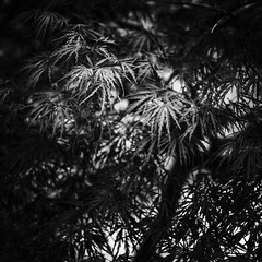 Sawtooth Variate (Mabry Campbell) Tags: blackandwhite stilllife plants usa plant nature monochrome leaves landscape photography march photo dallas texas photographer image tx unitedstatesofamerica fineart fav20 hasselblad photograph april 100 f71 squarecrop fineartphotography 38mm 2016 commercialphotography fav10 intimatelandscape sec mabrycampbell h5d50c april152016 20160415campbellb0001193