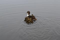 DSC_0054 (siebebogaard) Tags: duck babyduck