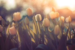 Tulips (Mike M Martin) Tags: flowers canon illinois spring tulips bokeh naperville manualfocus t2i searsautomc50mmf14