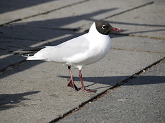 Black-headed gull (Pivi ) Tags: blackheadedgull naurulokki hettemke