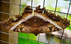 Moth 3 (orientalizing) Tags: desktop peru moth insects featured ascalaphaodorata amazonbasin ahuashiyacu blackwitchmoth sanmartinprovince tarapotodistrict giantjunglebugs