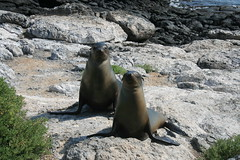 IMG_7646 (chupalo) Tags: sealions lavarocks islasplaza
