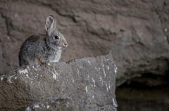 Mountain Cottontail (Jon David Nelson) Tags: mountain rabbit ecology oregon centraloregon wildlife highdesert sagebrush wildanimals cottontail oregonhighdesert mountaincottontail sylvilagusnuttallii sagebrushsteppe ftrockoregon