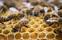 Anglų lietuvių žodynas. Žodis apiculture reiškia n bitininkystė lietuviškai.