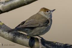 Curruca capirotada hembra (Sylvia atricapilla) (jsnchezyage) Tags: naturaleza bird fauna birding ave atricapilla 2curruca capirotadasylvia