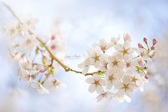 Yoshino Cherry Blossom (Jacky Parker Floral Art) Tags: flowers white closeup outdoors blossom nopeople cherryblossom freshness springtime selectivefocus naturephotography macrophotography floralart beautyinnature springblossom horizontalformat flowerphotography focusonforeground yoshinocherrytree spring2016