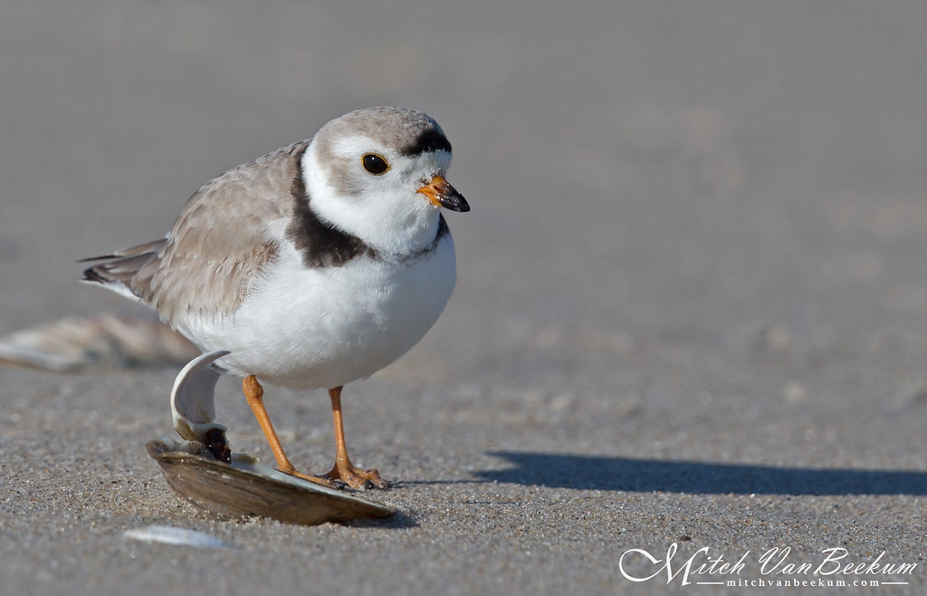 Piping Plover (Endangered)