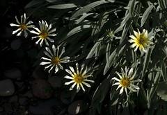 160416 In the garden _DEB0008 copy (debunix) Tags: yellow whoami blossombloomflower