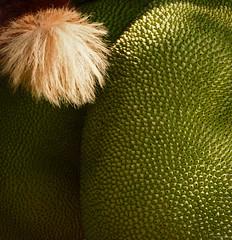 Jack on Fruit (Madhav Jois) Tags: giant squirrel jackfruit malabar