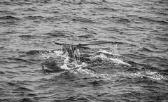 IMG_8442 (peng_tim1) Tags: antarctica whale wal antarctic antarktis anartikis