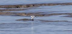 Avocet (36) (Mal.Durbin Photography) Tags: nature birds newport naturereserve newportwetlands maldurbin goldcliffnewport