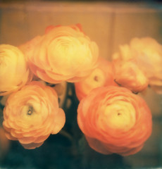evening ranunculus (lawatt) Tags: flowers film sx70 ranunculus bloom instant theimpossibleproject colorgen2 roidweek2016