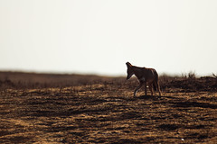 Ethiopian Wolf - Backlight (lostin4tune - Thank's for a million views!) Tags: light wild sun sunlight nature backlight canon highlands wolf wildlife earlymorning loup ethiopia dslr marvel savage sauvage aube wolfes ethiopie threatened canid 600mm ethiopianwolf menac theredlist 1dc loupdabysinnie abysinnie