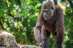 An Intent Gorilla (Samantha Decker) Tags: orlando gorilla florida telephoto fl wdw waltdisneyworld themepark disneysanimalkingdom dak lakebuenavista panganiforestexplorationtrail canoneos6d samanthadecker tamronsp150600mmf563divcusd