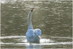 Swan (HP009664) (Hetwie) Tags: bird nature animal swan nederland natuur vogel vijver noordbrabant zwaan helmond knobbelzwaan watervogel brouwhuis