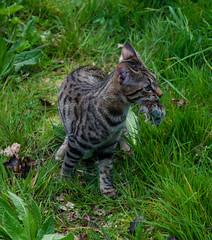 DSC_0195-1 (chat_44) Tags: cat chat animaux yoshi chaton flin miaou tigr rwing
