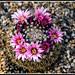 Primavera en los cactus