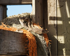 Dried fish in Dungeness (radleyfreak (offline for a while)) Tags: kent shingle headland