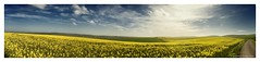 Wild West Wight (frattonparker) Tags: panorama yellow raw isleofwight prairie canola rapeseed tamron28300mm nikond600 thebestyellow adobecs6 btonner frattonparker