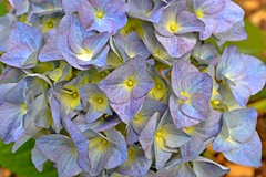 Hydrangea ... beautiful in blue! (Maria Godfrida) Tags: flowers blue nature garden petals spring lavender lilac hydrangea colourful springtime smallflowers greengroup