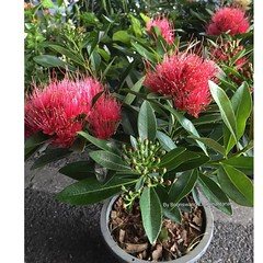 Xanthostemon chrysanthus  (ดอกรักแรกพบDok Ruk Raek Pob =Love at first sight) an origin in Australia the tropical forests flower spread wide covered every where tropical country in Southeast Asia including Thailand l take this photo from Jatujak flower mar
