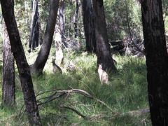 Roos in the scrub at Pretty Beach (spelio) Tags: camping camp coast wildlife australia tm nsw kangaroos 2016 murramarang