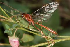 Ichneumon wasp (zosterops) Tags: australia tasmania marionbay canoneos6d canonmacrolensmpe65 macro insecta hymenoptera ichneumonidae mesochorinae cidaphus