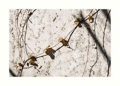 lgance (hlne chantemerle) Tags: panorama france rural soleil faades extrieur vue paysages vigne murs plantes ombres photographies essonne vgtaux photosderue bville