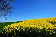 - (klaus53) Tags: sky yellow landscape spring nikon raps loweraustria