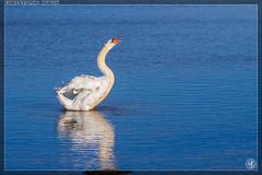 Le langage des cygnes... (stofmania) Tags: bird swan teich oiseau cygne cygnus olor rserve ornithologique stofmania christopheaubin