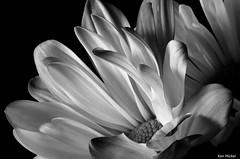 Daisy (Ken Mickel) Tags: flowers blackandwhite plants flower nature colors gardens closeup blackbackground garden photography flora blossom blossoms daisy upclose flowersonblack