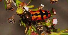 Beejeweled Beetle (ron_n_beths pics) Tags: westernaustralia buprestidae