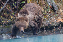 Coastal Brown Bear 092114-1-2-W.jpg (RobsWildlife.com  TheVestGuy.com) Tags: bear travel wild nature alaska canon outdoors photography wildlife fineart professional adventure anchorage wilderness custom anc epic wildlifephotographer brownbear americanmade animalart wildanimals animalprints 2014 crescentlake redoubt canoncamera wildlifeart rml wildlifephotography redoubtlodge lakeclarknationalpark redoubtmountainlodge chigmitmountains wildalaska alaskawild alaskaadventure usamade coastalbrownbear wildlifeprints thevestguy robdaugherty thevestguycom robswildlifecom robswildlife robertdaugherty 8016989080 usaquality 092114 epicwildlifeadventures northernaleutianrange robswildlifecom 2014robswildlifecom thevestguycom
