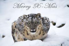 Merry X-Mas (Cloudtail the Snow Leopard) Tags: merry x mas weihnacht weihnachten christmas snow leopardzookarlrsuhetieranimalmammalsäugetierwintercatkatzebiggrosraubschneesnowleopardirbispantheraunciamaleassam cloudtailthesnowleopard