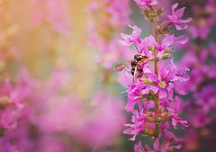 Spring | Explored on 12.27.15 | Thank you all! (Pásztor András) Tags: pink sunlight blur flower macro garden photography spring nikon colorful hungary mood peace dof sigma bee 70300mm detailed andrás cuckoobee pásztor d5100
